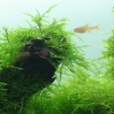 TROPICA Taxiphyllum barbieri - Mousse de Java pour aquarium